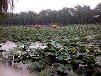 Lotus flowers on a lake in BeiHai